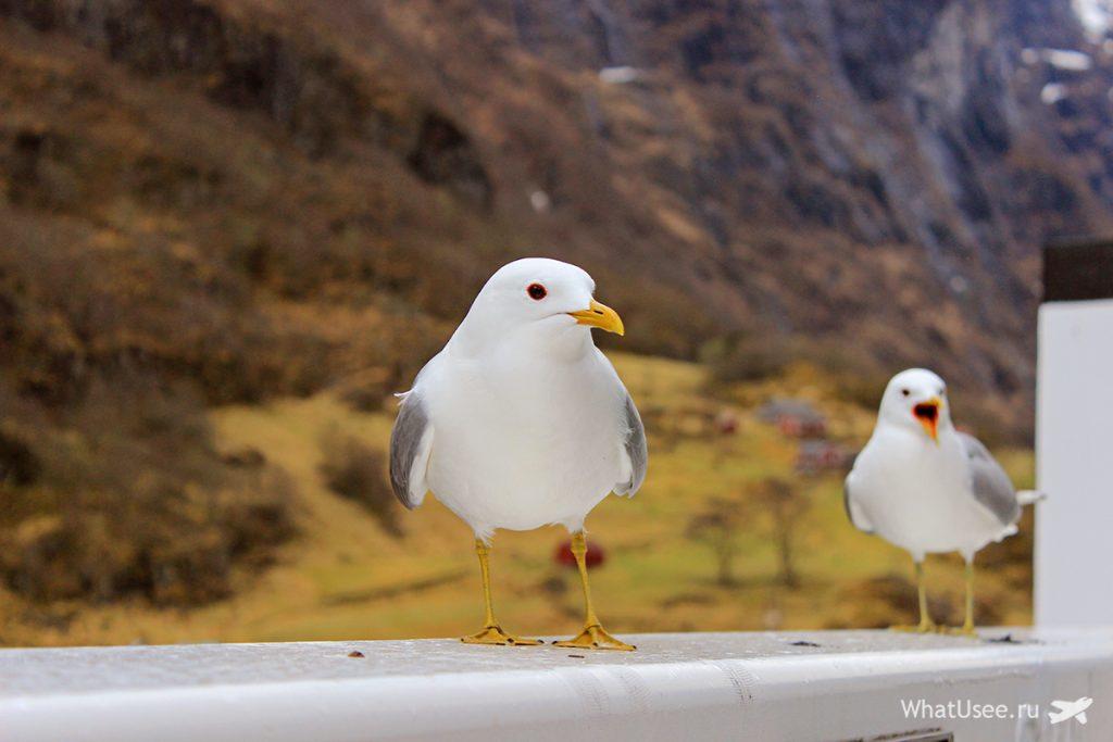 Чайки на Согнефьорде