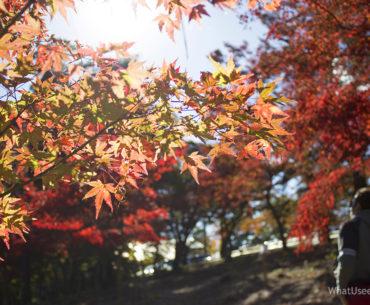 Момидзи в Япнии, сезон красных клёнов