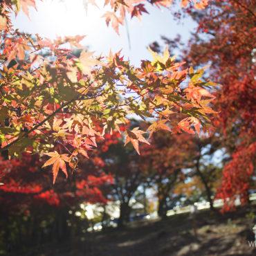 Момидзи, или сезон красных клёнов в Японии