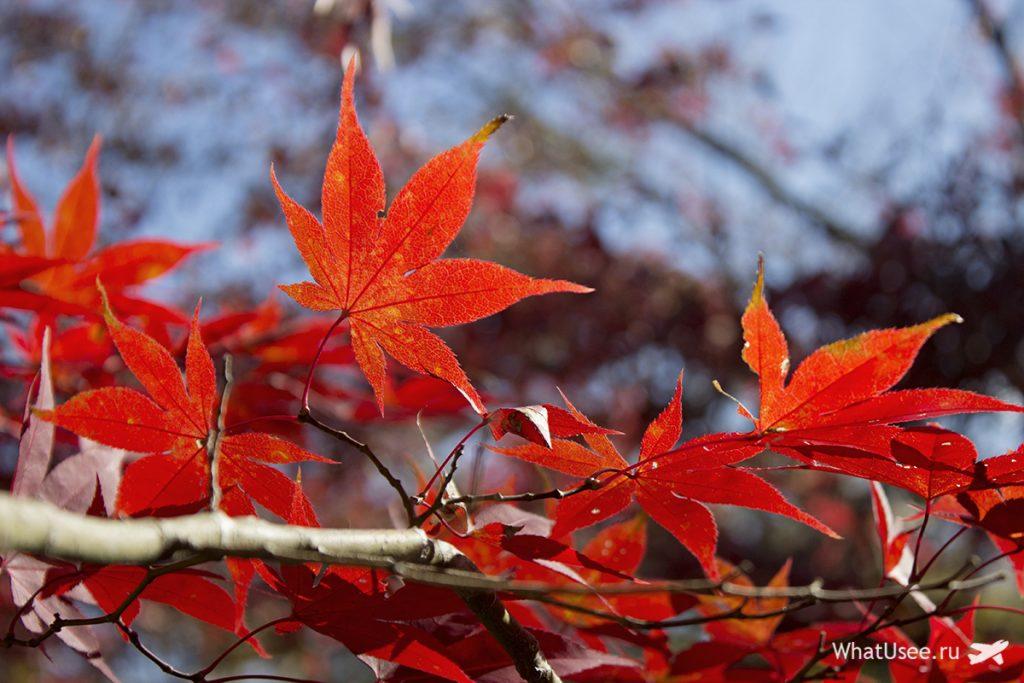Момидзи, сезон красных клёнов в Японии