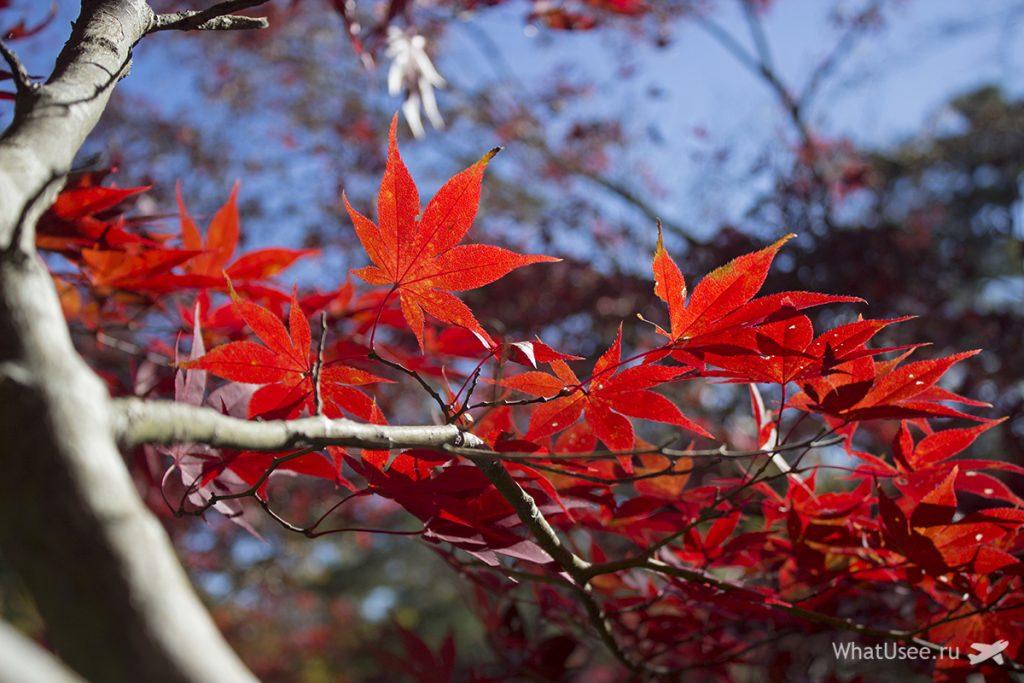 Сезон красных клёнов в Нагаторо в Японии