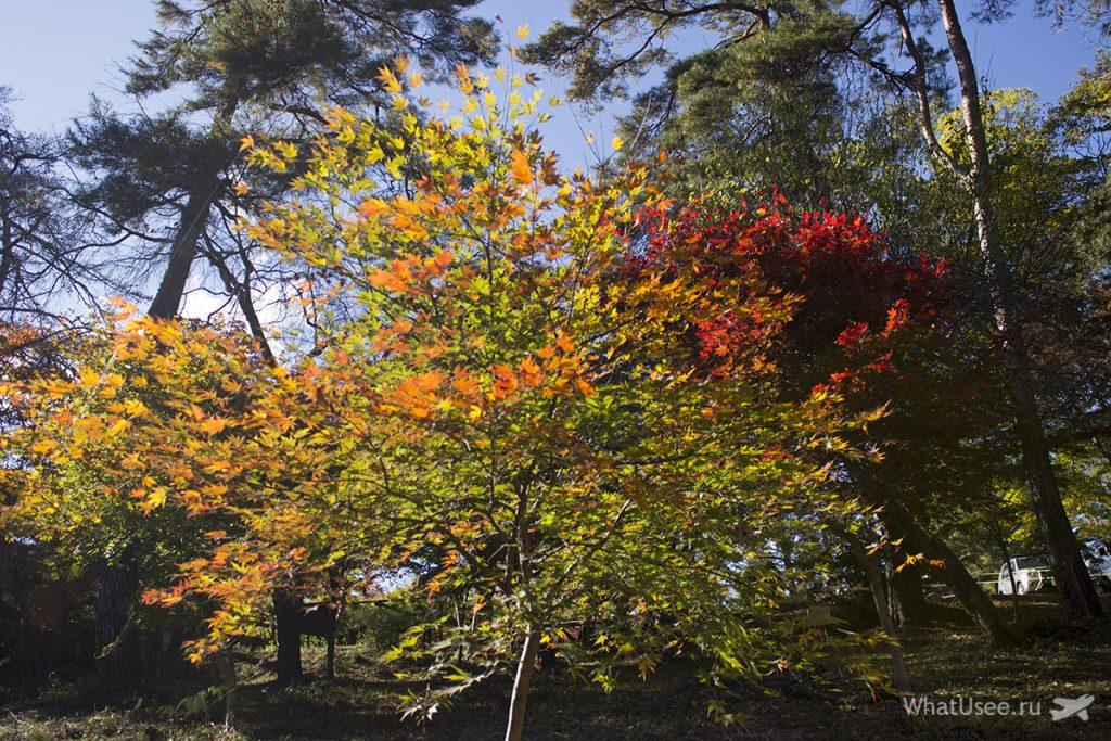 Осенние клёны в Нагаторо