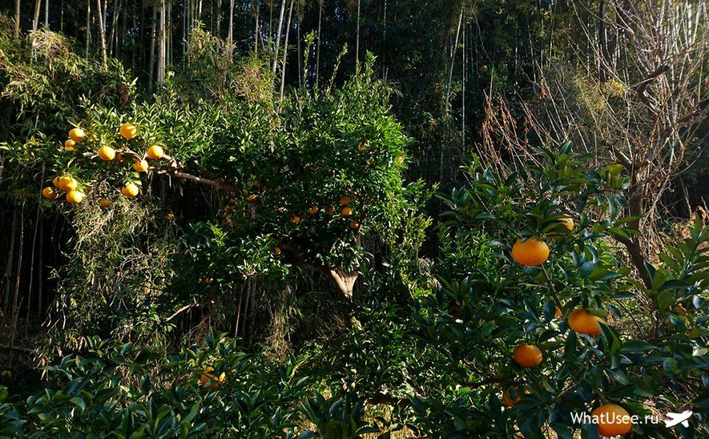 Дикие апельсины в Японии