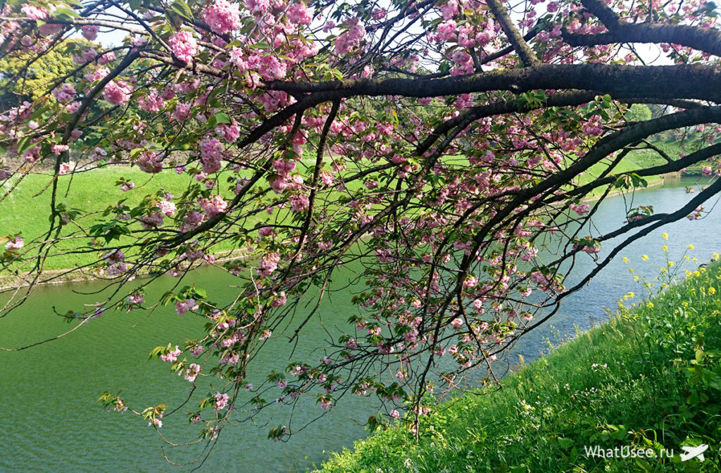 Где смотреть цветение сакуры в Японии