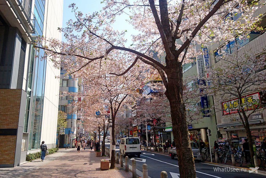Когда цветёт сакура в Токио 2019
