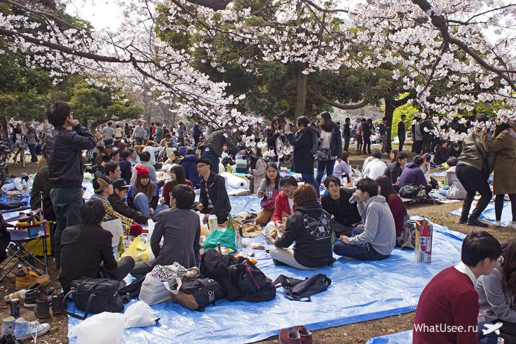 Цветущая сакура в Токио в Японии