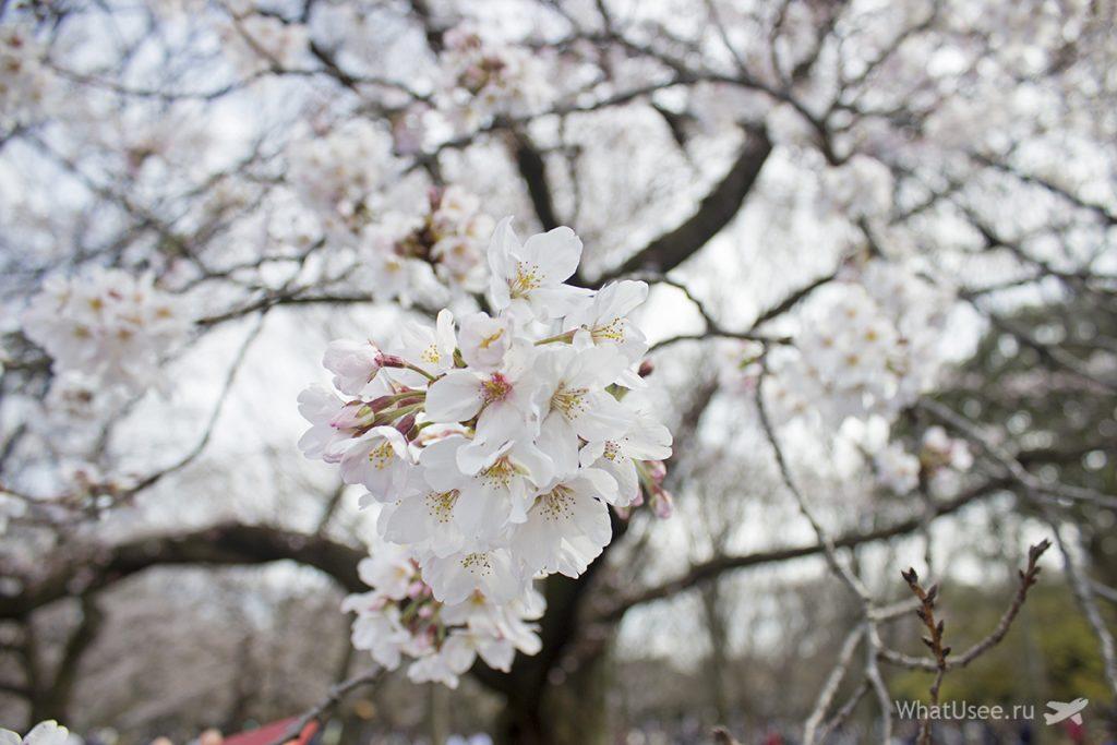 когда цветёт сакура в Токио в Японии