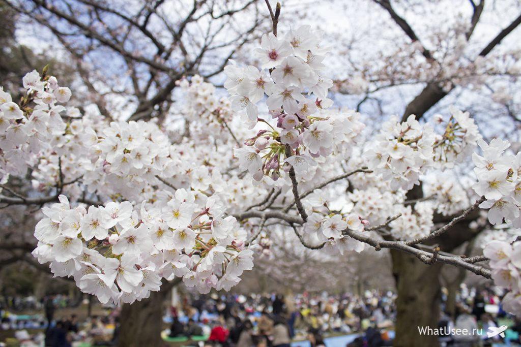 Когда цветёт сакура в Токио