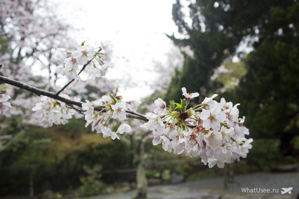 Когда в Японии цветёт сакура в Токио