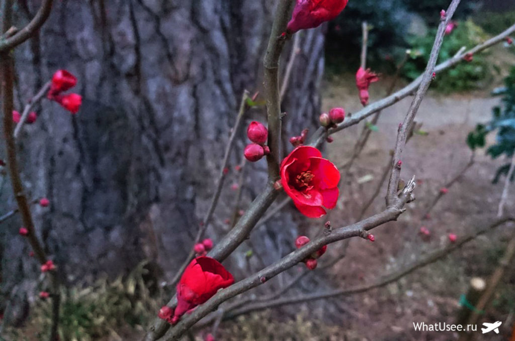 Цветение сливы и вишни в Токио