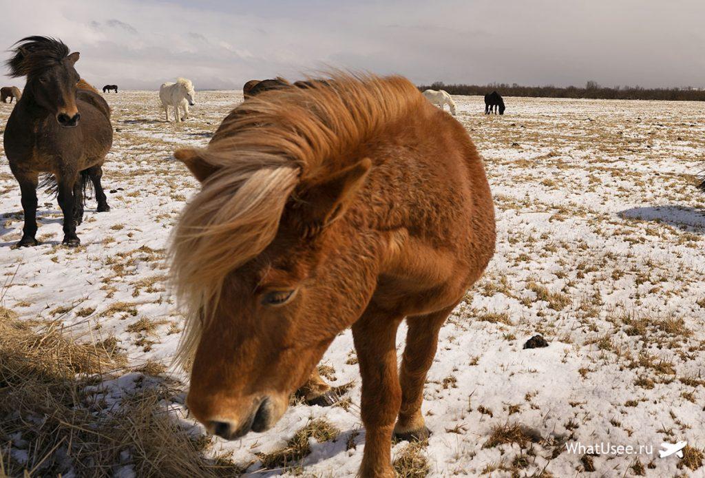 Животные в Исландии