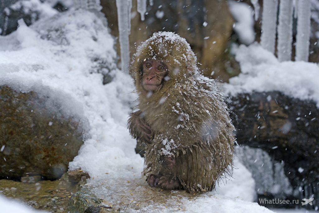 Поездка в Парк снежных обезьян в Нагано