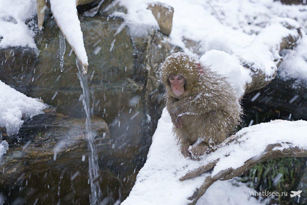 Поездка в Парк снежных обезьян в Японим
